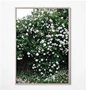 【インテリア雑貨特集】テープで留めてカジュアルに | Fine Little Day ポスター WHITE ROSES / RED ROSES